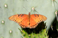 Gulf Fritillary Butterfly, with Passionvine on its wing
