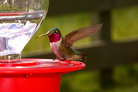 Broad-tailed Hummingbird, male
