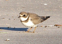 Piping Plover,  non-breeding or juvenile