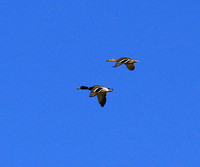 Mallard pair in flight