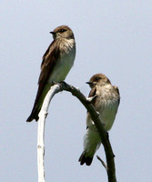 Tyrant Flycatchers, Kingbirds, Shrikes, Vireos