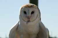 Barn Owl with morsel