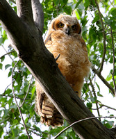 Great Horned Owl, fledgling #1