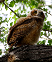 Great Horned Owl, fledgling #2
