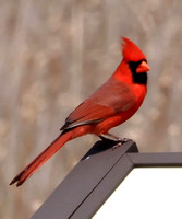 Cardinals, Grosbeaks, Buntings, Meadowlarks, Blackbirds, Orioles