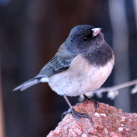 Dark-eyed Junco, Slate-colored