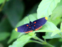 Red-bordered Pixie Butterfly