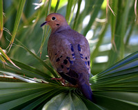 Mourning Dove in palm tree