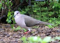 White-tipped Dove