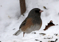 Dark-eyed Junco, Oregon, adult male