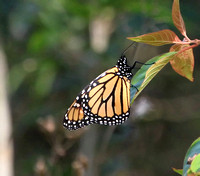 Monarch Butterfly, female