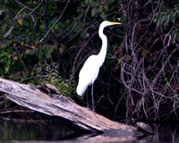 A Great Egret shares its log with two turtles