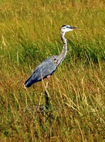 Great Blue Heron, juvenile
