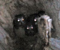 Northern Saw-whet Owls, 3 hatchlings