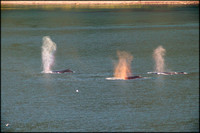 Three Humpbacks Spouting