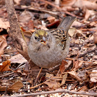 Golden-crowned Sparrow, 1st winter