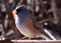 Dark-eyed Junco, pink-sided adult male