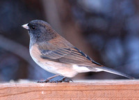 Dark-eyed Junco, Oregon, female