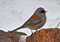 Dark-eyed Junco, gray-headed