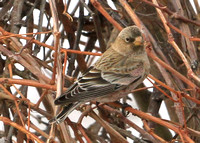 Brown-capped Rosy-finch,  1st winter