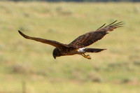 "Northern Harrier, ""harrying"""